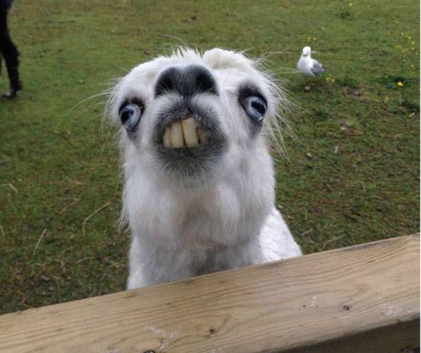 lama making faces