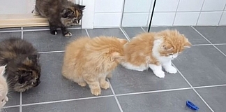 Adorable Reaction From Persian Kittens When They See A New Toy