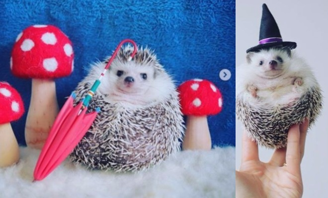 Azuki The Hedgehog Has More Instagram Followers Than You
