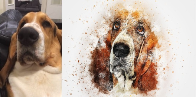 Adorable Basset Hound Tries Its Best To Get Some Love From Its Owner
