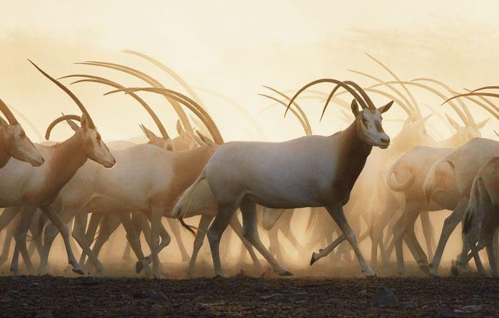 Scimitar Oryx's