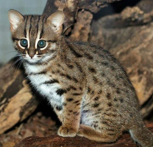 rustyspottedcat