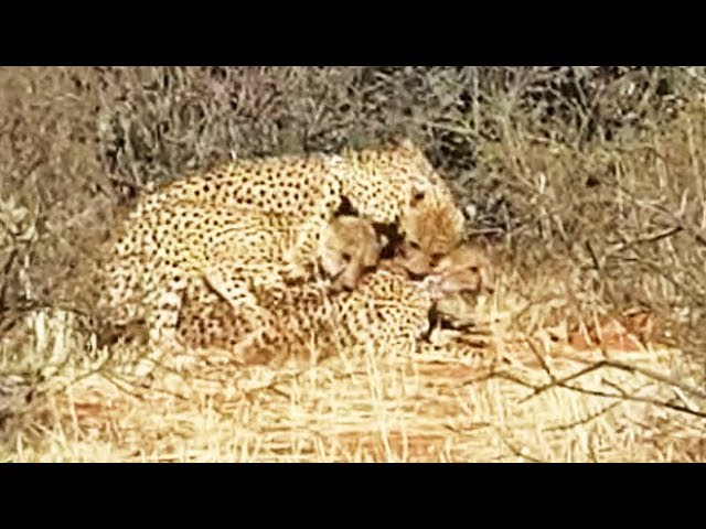 Cheetahs Were Spotted Having a Threesome In The Kalahari And Captured On Camera